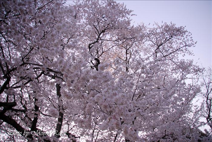 今治市の花 掌禅寺の金龍桜 愛媛県今治市菊間町池原1100 2009年3月24日