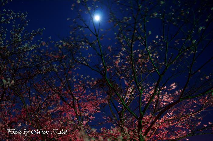 西条市の桜 久妙寺の桜と夜桜 西条市丹原町久妙寺 2009年4月6日