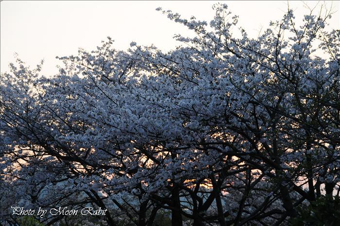 [新居浜市の桜(サクラ)] 黒島海浜公園の夕暮れの桜その2 新居浜市黒島 2009年4月8日