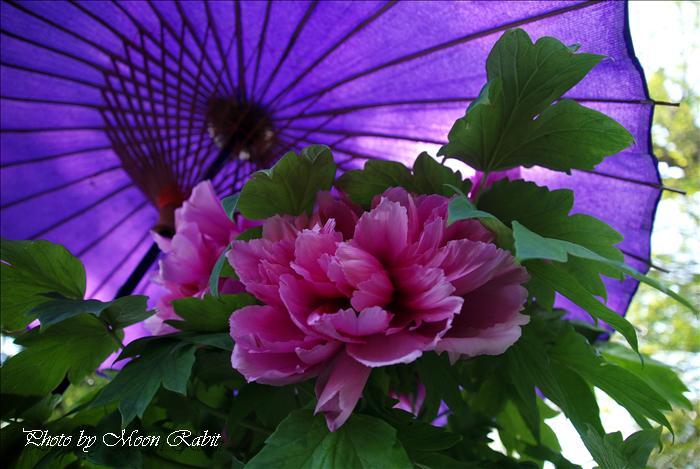 [西条市の花] 法安寺の千本牡丹(ボタン)とぼたん祭り 西条市小松町北川 2009年4月19日