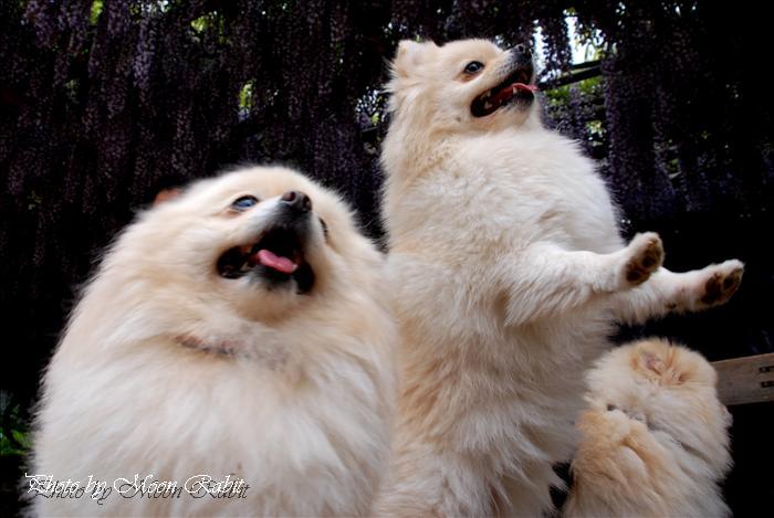 西条市のフジ 禎祥寺(観音堂、おかんのんさん)の藤その4 お子さんと犬 西条市上喜多川 2009年4月22日
