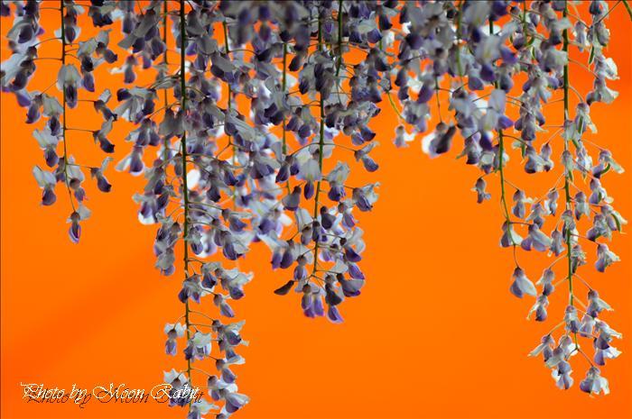 西条市のフジ(藤) 禎祥寺(観音堂、おかんのんさん)の藤その5 西条市上喜多川 2009年4月26日