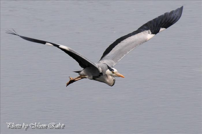西条市の野鳥 北浜のアオサギ(青鷺)の飛翔 西条市北浜南 2009年5月6日