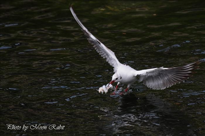 西条市の野鳥 カモメ(鴎)の着水 西条市北浜南にて 2009年5月6日