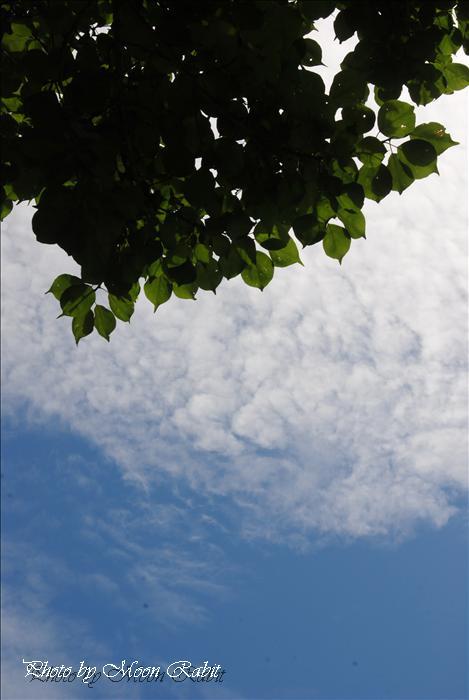 今治市市民の森・フラワーパーク(今治市制50年記念公園)の鯉のぼり(こいのぼり、鯉幟)・桜・八重桜(ヤエザクラ)・ボタン(牡丹)・ツツジ(躑躅、つつじ)・フジ棚(藤棚)・スイレン(睡蓮)など --写真は-- 今治市の名所 今治市市民の森 フラワーパークの花・植物 愛媛県今治市山路 今治市制50年記念公園にて 2009年8月7日