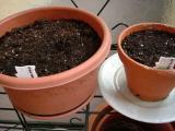 三つ葉とミント種まき