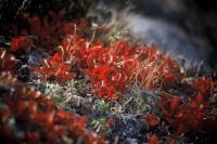 地衣類の紅葉