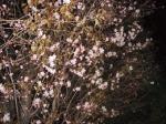 080419-04桜-