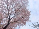 080429-桜-