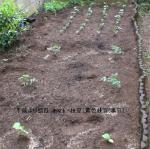 2008・4野菜 004