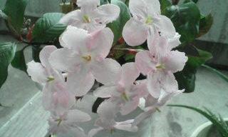 富士のニオイザクラ・・愛らしい花