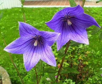紫の桔梗が綺麗・・