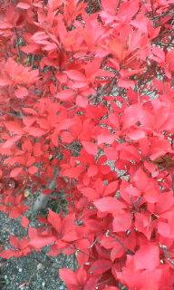 真っ赤に染まっていた葉・・
