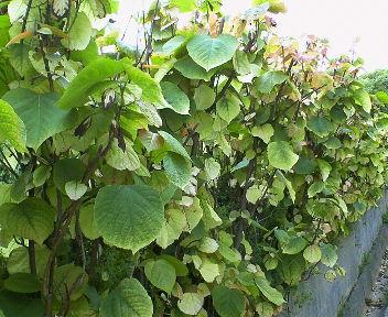 緑の色に変わった葉