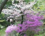 偕楽公園のミヤマツツジ 桜のように木に咲くツツジ