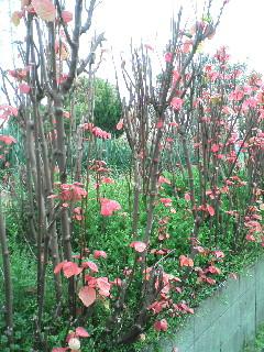 ここにだけ茂るピンクの葉