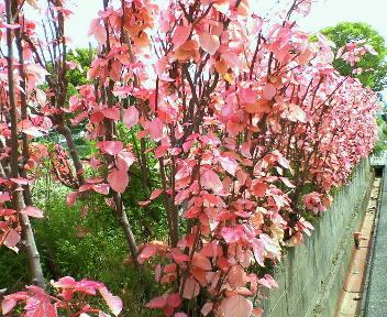 ピンクの不思議な葉っぱ