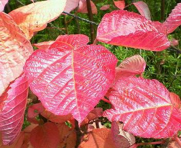 ピンクの葉を近くで・・