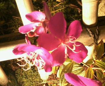 可愛いピンクも花が咲いて・・