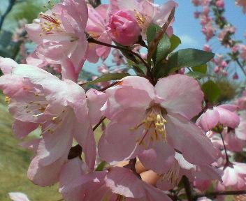 pinkusakura.jpg