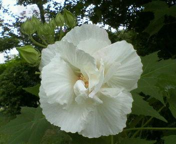 ハイビスカスのような大きなお花♪