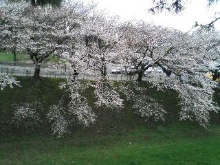 sirosakura1.jpg