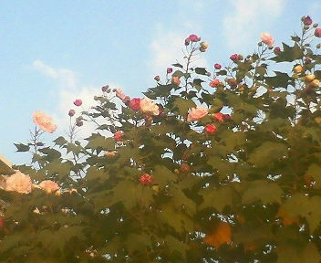 天気のいい日に青空に向かって酔芙蓉が咲いていた