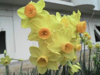 マンションの敷地内に咲いていた水仙