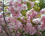 八重桜が満開!