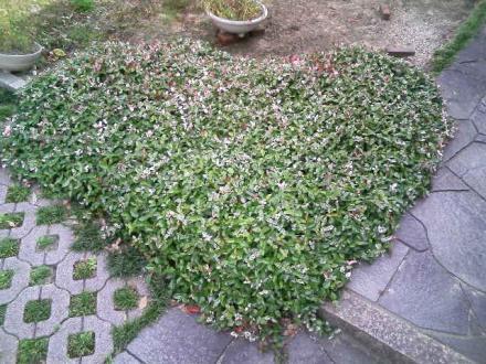 ハートの葉っぱたち1
