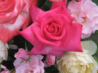 ピンクのたくさんのバラ