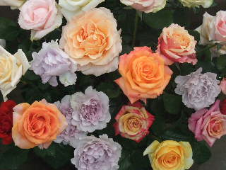 色とりどりのバラ