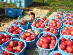 リンゴもぎ