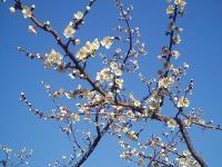 小梅五分咲きH210228