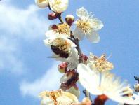 日本ミツバチ見つけH210301