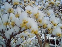 サンシュユに春の淡雪H210327