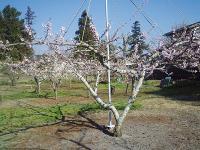 我が家の川中島白桃の花H210411