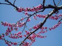 川中島白桃の花粉付けH210419