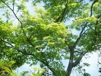 カエデ新緑H210422