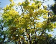 カエデ新緑黄H210422