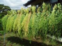 菜種のもとを乾かすH210525