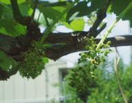 ナガノパープル花穂整形ジベレリンH210607