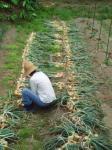 タマネギ収穫H210609