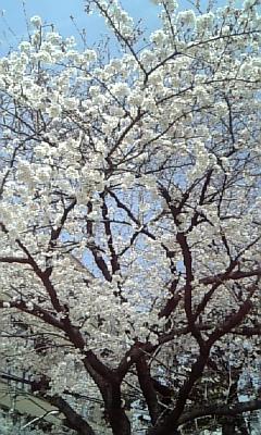 桜20080328