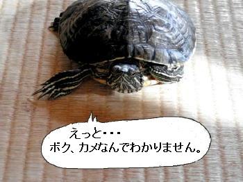 kamekotaeru.jpg
