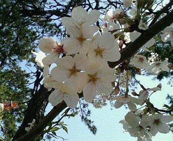 小倉の桜♪