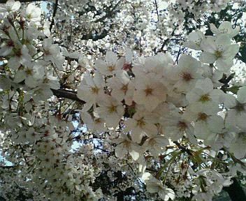 小倉の桜♪2