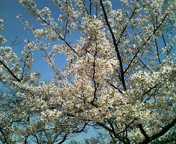 和布刈の桜♪