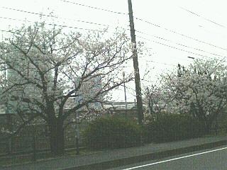 長府の桜♪