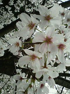 桜のアップ~♪